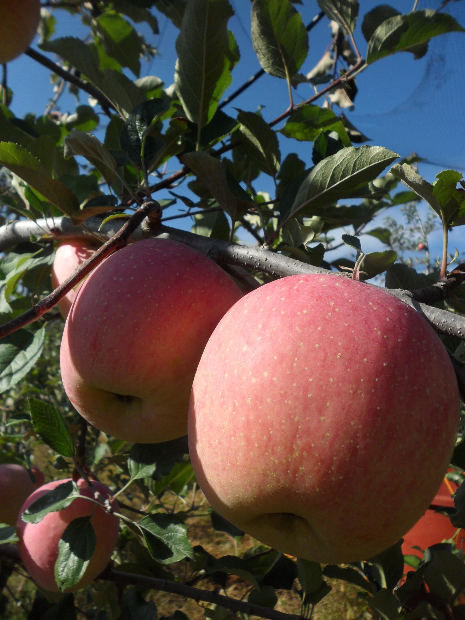 탐스러운 사과
